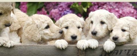 Designer Breed Registry World Wide Registry For Designer Dogs